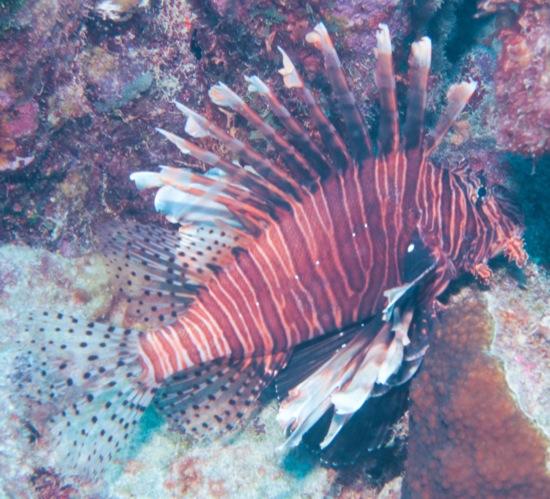 lionfish bonaire
