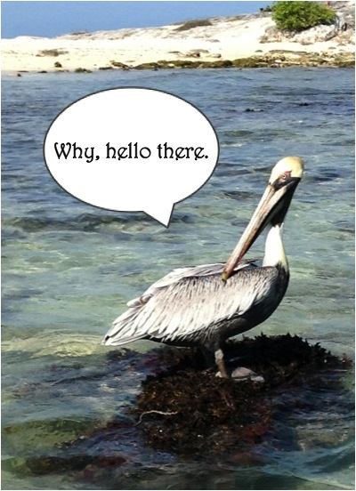 overly friendly pelican